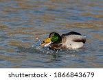A Male Mallard Duck Has Found A ...