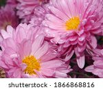 Pink Chrysanthemums With...