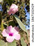 Small photo of close up of light pink flowers of basharm plant of shameless plant