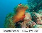 Magnificent Sea Anemone Or...