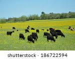 Black Cattle In Pasture