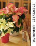 White And Pink Poinsettia As A...