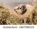 Guinea pig Cavia porcellus is a popular pet. The rodent sits among the hay and eats grass. Guinea pig studio portrait, animal care concept.