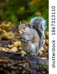 Grey Squirrel Standing On A...