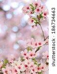 pink springtime sakura blossoms ... | Shutterstock . vector #186734663