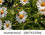 White Daisies With Bee With...