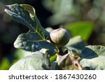 Chicago Hardy Fig Plant With A...