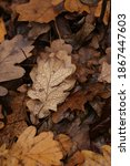 It Is Top View Of Oak Leaf With ...