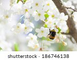 close up of cherry blossom... | Shutterstock . vector #186746138