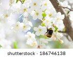 Close Up Of Cherry Blossom...