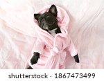 French Bulldog In Bathrobe At...