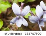 Violet Forest  Viola...