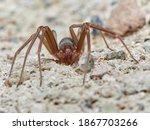 Mediterranean recluse spider....