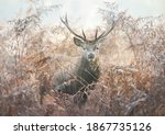 Portrait Of A Red Deer Stag In...