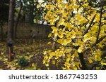 Yellow Ginkgo Biloba Leaves In...