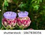Artichoke Plants Growing...