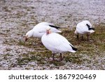 Lesser white-morph snow goose standing with other birds in soft focus background on lawn covered in a dusting of fresh snow, Quebec City, Quebec, Canada