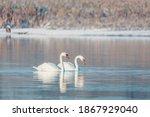 Wild Bird Mute Swan  Cygnus...