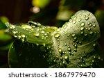 Rain Water Drops On Green Leaf...