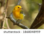 Prothonotary Warbler  ...