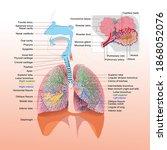 human lung organs infographic... | Shutterstock .eps vector #1868052076