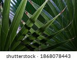 Palm Leaves Entwined With...