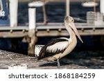 Amazing Pelican On The Dock