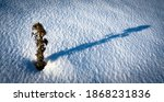 Dead Thistle In The Snow ...