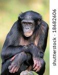 Bonobo Female