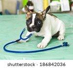 Stock photo french bulldog puppy in animal hospital 186842036
