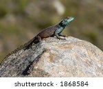 a lizard basking in the sun on... | Shutterstock . vector #1868584