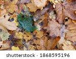 A Green Leaf Lying Among The...
