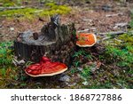 Two Large Red Polypore Grows On ...