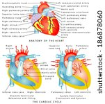 heart. anatomy of the heart.... | Shutterstock .eps vector #186878060