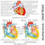 heart. anatomy of the heart.... | Shutterstock .eps vector #186878060