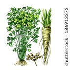 fruits and leaves of parsley ... | Shutterstock . vector #186913373
