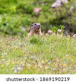 A Portrait Of A Marmot In North ...