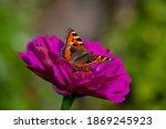 Butterfly Sitting On Purple...