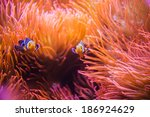 Coral Reef Clownfish Between...