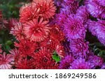 Red Chrysanthemums In Raindrops ...