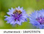Bee On Cornflower Flower....