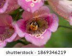 Bumblebee Feeding Inside A Pink ...