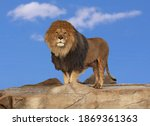 Male Lion Standing Proudly On A ...