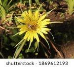 Tragopogon Dubius Is Also Known ...
