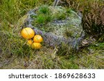 Golden Mushrooms At A Tree Stump