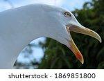Open Beaked Seagull Head Close...