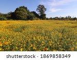 beautiful yellow cosmos flower... | Shutterstock . vector #1869858349