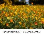beautiful yellow cosmos flower... | Shutterstock . vector #1869866950