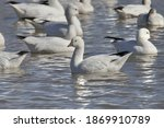 Ross's Goose Swimming In Pond