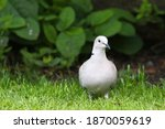 Collared Dove On Grass In An...